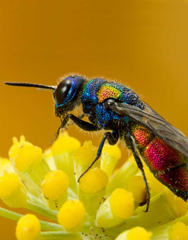 Cuckoo-wasp.-It-lays-its-eggs-in-other-wasp-nest-hence-its-name.